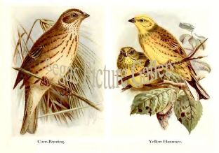 Corn-Bunting & Yellow Hammer